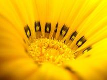 Gelbe Makroblume Lizenzfreie Stockfotografie