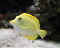 Gelbe Marine Fish Stockfoto