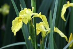 Gelbe Markierungsfahnen-Blende - Blende pseudacorus Stockfotos