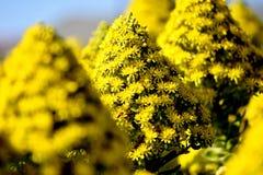 Gelbe Massenblumen Stockfotografie