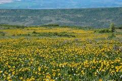 Gelbe Maultier ` s Ohren blüht Wiese in Colorado stockfoto