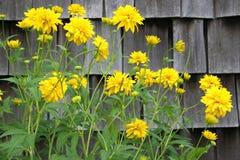 Gelbe mehrjährige Pflanze Lizenzfreie Stockbilder
