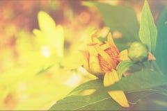 Gelbe mexikanische Sonnenblume mit Weichzeichnung Stockfoto