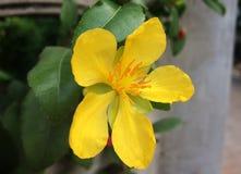 Gelbe Mickey Mouse-Blume Stockfotos