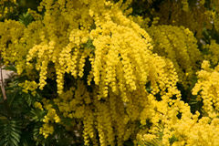 Gelbe Mimose Lizenzfreies Stockbild