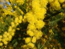 Gelbe Mimose Stockbild