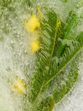 Gelbe Mimose im Eis Stockbild
