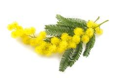 Gelbe Mimoseblumen Lizenzfreie Stockfotografie