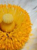 Gelbe Mitte einer weißen Blume Stockbild
