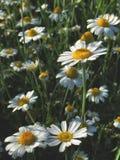 Gelbe Mittelwiese der weißen Blume stockfotografie