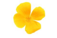 Gelbe Mohnblume Stockfoto