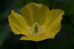 Gelbe Mohnblume auf der Sandsteinspur, in Cheshire Lizenzfreies Stockbild