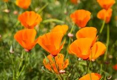 Gelbe Mohnblume auf grüner Feldnahaufnahme Lizenzfreie Stockbilder