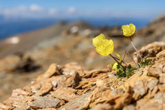 Gelbe Mohnblume blüht Gebirgsnahaufnahme Stockfotografie