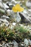 Gelbe Mohnblume auf den Steinen Lizenzfreies Stockbild