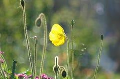 Gelbe Mohnblume im Sonnenlicht Stockfotos