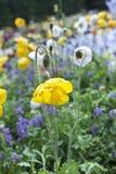 Gelbe Mohnblumen Lizenzfreie Stockbilder