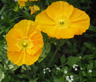 Gelbe Mohnblumen Stockfotografie