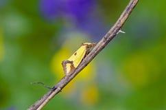Gelbe Motte Stockbilder