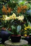 Gelbe Mottenorchidee Stockfotos