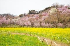 Gelbe nanohana Felder und blühende Bäume, die den Abhang, Hanamiyama-Park, Fukushima, Tohoku, Japan bedecken lizenzfreie stockfotografie