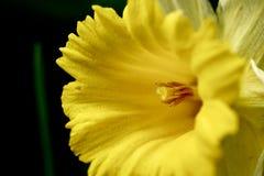Gelbe Narzisse Stockbilder