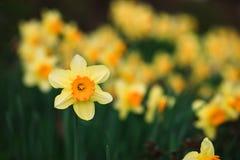 Gelbe Narzisse auf grünem Hintergrund Stockbilder