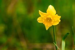 Gelbe Narzisse auf grünem Hintergrund Stockfotos