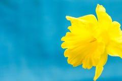 Gelbe Narzisse auf hellblauem Hintergrund, Makro, Zusammenfassung, copyspace für Text, Grußkartenschablone lizenzfreie stockfotos