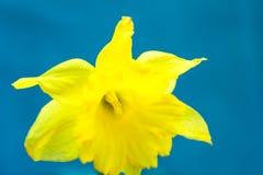 Gelbe Narzisse auf hellblauem Hintergrund, Makro, Zusammenfassung, copyspace für Text, Grußkartenschablone, redete Bild für Sozia Lizenzfreie Stockbilder