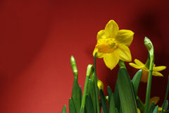 Gelbe Narzisse in der roten Stimmung Stockbild