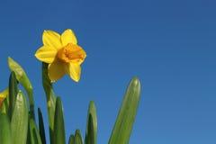 Gelbe Narzisse im blauen Himmel Lizenzfreies Stockfoto