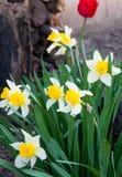 Gelbe Narzisse im Garten Stockbilder
