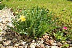 Gelbe Narzisse im Garten lizenzfreie stockfotografie