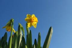 Gelbe Narzisse im Sonnenschein Stockfotos