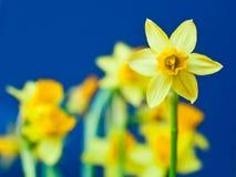 Gelbe Narzisse (Narzissen) Lizenzfreie Stockbilder