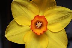 Gelbe Narzisseblume Stockbild