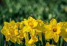 Gelbe Narzissen auf dem Blumenbeet im Park stockfotografie