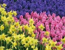 Gelbe Narzissen bewundern purpurrote und rosafarbene Hyazinthe Stockfoto