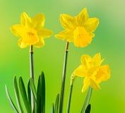 Gelbe Narzissen blühen, schließen oben, grün, um degradee Hintergrund gelb zu färben Wissen Sie als Narzisse daffadowndilly Narzi Lizenzfreies Stockfoto