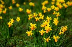 Gelbe Narzissen in der Blüte am Frühjahr an einem hellen sonnigen Tag stockbild