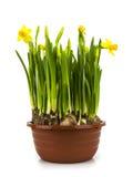 Gelbe Narzissen in einem Potenziometer Lizenzfreie Stockbilder
