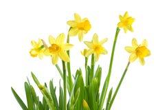 Frühlings-Blumen - lokalisierte Narzissen Lizenzfreies Stockfoto