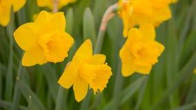 Gelbe Narzissen im Sun Stockbilder