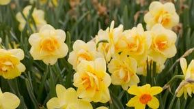 Gelbe Narzissen im Sun Lizenzfreies Stockbild