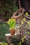 Gelbe Narzissen im Topf, im Weidenweidenzaun und in den Werkzeugen im Vorfrühling arbeiten im Garten Stockfotografie