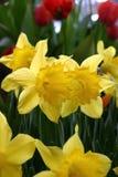 Gelbe Narzissen und rote Tulpen Stockfoto