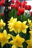 Gelbe Narzissen und rote Tulpen Stockbild
