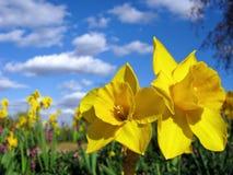 Gelbe Narzissen unter Himmel des Sommerfreien raumes Lizenzfreie Stockbilder