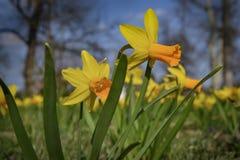 Gelbe Narzissenblume im Garten lizenzfreie stockbilder